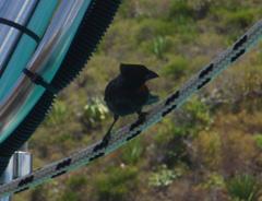 sporophyle petit-coq
