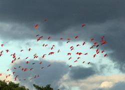 ibis1