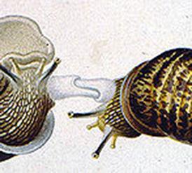 220px-Dards-escargots