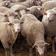 Rencontres, record et moutons